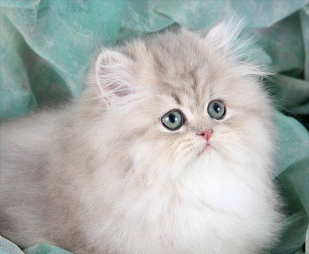 Chinchilla persian kittens for sale johannesburg
