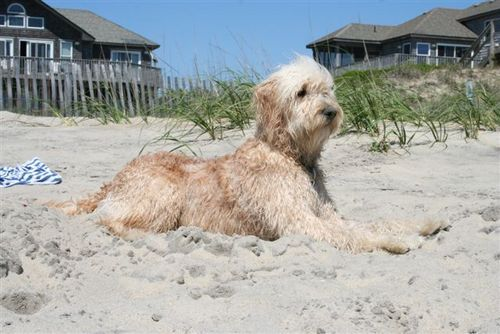 Life's a Beach!: Beaches Doodles, Dogs Cat Rabbit, Goldendoodle1 Com, Doodles Therapy, Doodles Dogs, Goldendoodles, Dogs People, Golden Doodles, Goldendoodle Dogs