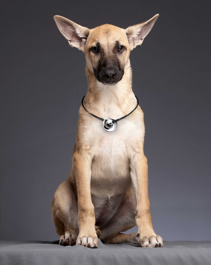 This lovely Alsatian puppy is sporting the classic Continuity necklace by Georg Jensen https://www.facebook.com/InutiDesignerJewelleryLtd