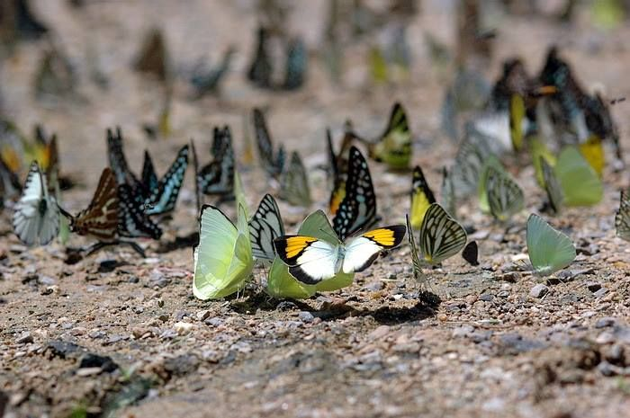 Butterflies at Kaeng Krachan National Park http://travel.edtguide.com/75986_Kaeng-Krachan-National-Park