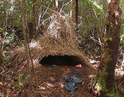 Les 25 meilleures id es de la cat gorie nids d 39 oiseaux sur for L oiseau jardinier