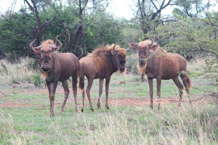 Golden King Wildebeest / Gnus can be distinguished from the Golden Wildebeest by their grey colour and golden facial hair. They are extremely rare; there are only an estimated 20 in South Africa. Valued at up to $450,000.