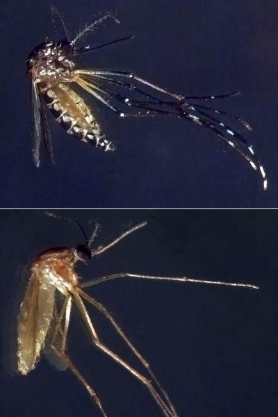 Aedes aegypti e Culex quiquefaciatus