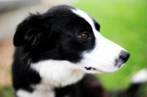 We will have a sweet dog again-love my border collies jlmtree