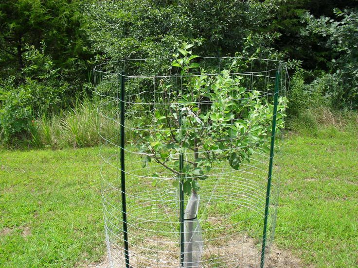 47 best fruit trees images on pinterest fruit trees organic gardening and deer - Protecting fruit trees in winter ...