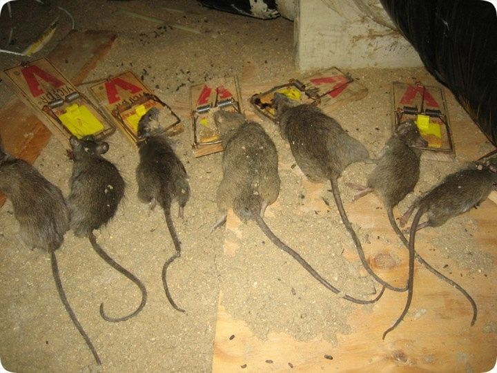The Biggest Myth About How to Kill Rats Exposed-  25+ Unique killing rats outdoors | Hairless Rat, Cute withHow To Kill Rats  1 The very first thing you must do it get rid of the rats in your house is to seal all of the entry points they use to have in. You also have to address why you had rats in the very first spot. So it is extremely important to do away with rats from the houses.  You should make an effort to locate indications of the rats first and determine where they'r