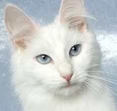 Afbeeldingsresultaat voor karakter van witte katten