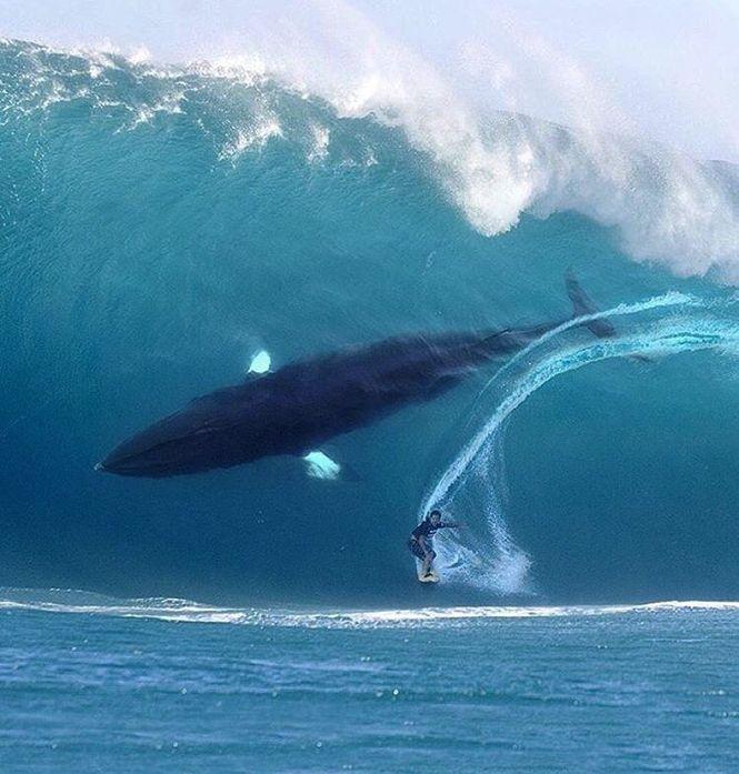 Herbrig, Julian - Surfer w Whale in Wave