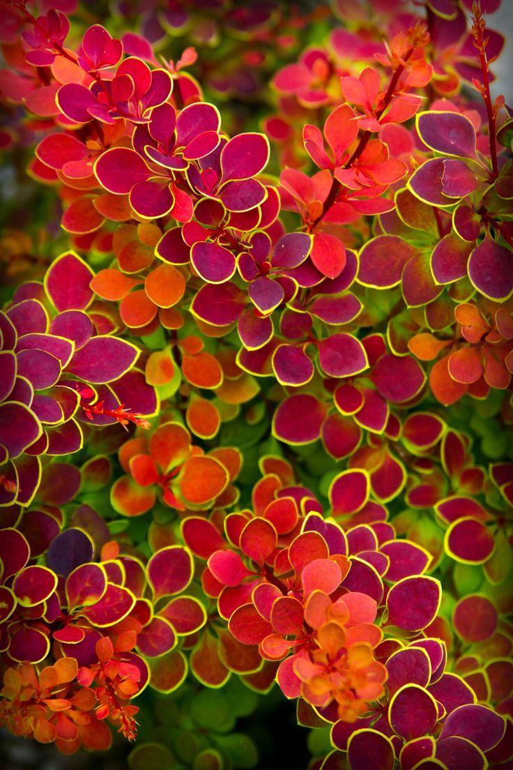 Berberitze & # 39; Orange Sunrise & # 39; (Berberis thunbergii) ist eine kleinblättri… #rosa blumen garten
