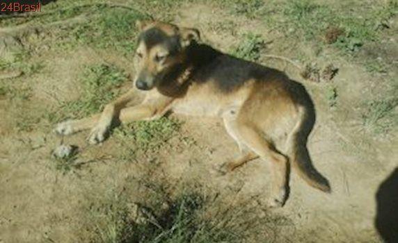 Doce e amoroso, cão mix de pastor alemão busca um lar em SP