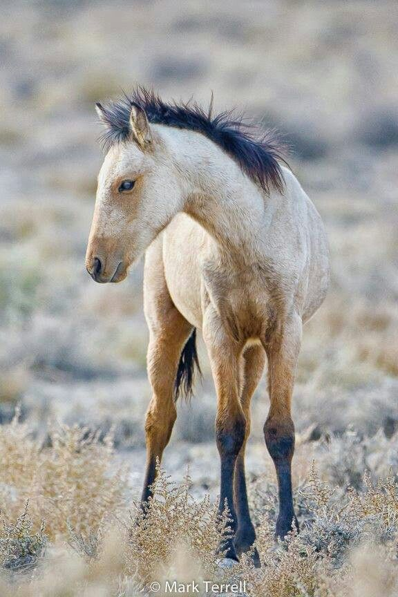 Wild Light Buckskin Foal; Very Pretty. | Baby Horses ...