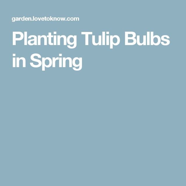 Planting Tulip Bulbs in Spring