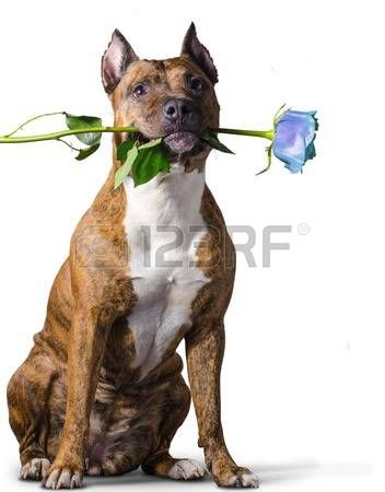 American Staffordshire Terrier with a ice-blue rose in the mouth before white background.