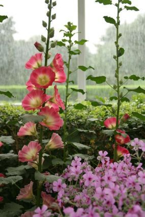 Hollyhocks are such a happy, old-fashioned flower!  Makes me think of fairy tales.