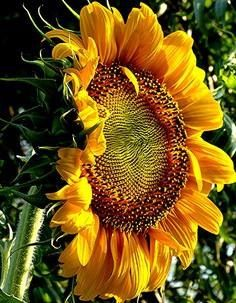 Sunflower!!!