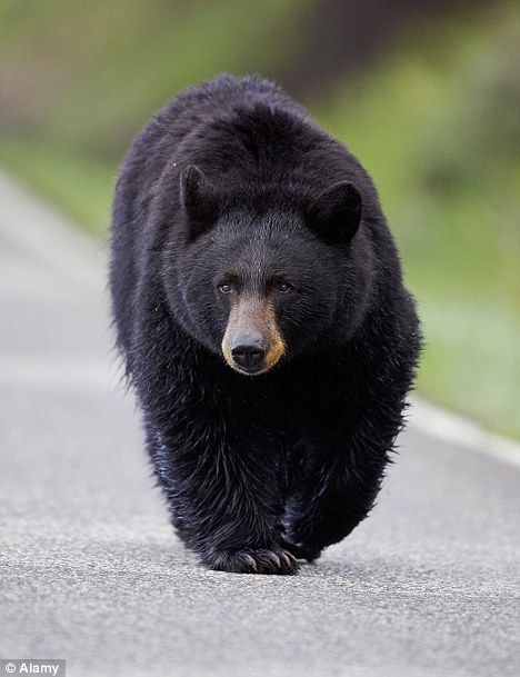 Black Bear on the Loose: What to Do If You See One