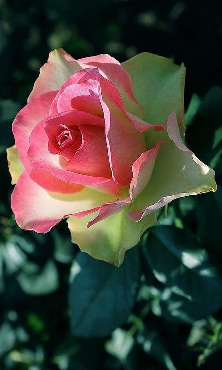 820 best lovely roses images on pinterest | a kiss, backgrounds and