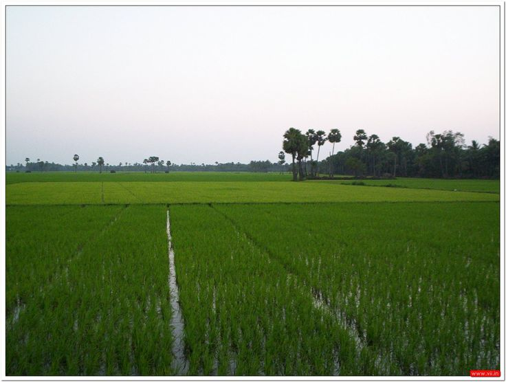 Rice crop, Andhra Pradesh