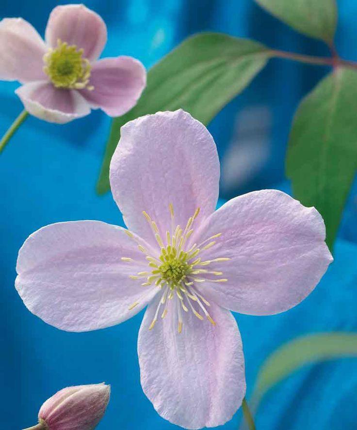 Buy climbing shrubs now Anemone Clematis
