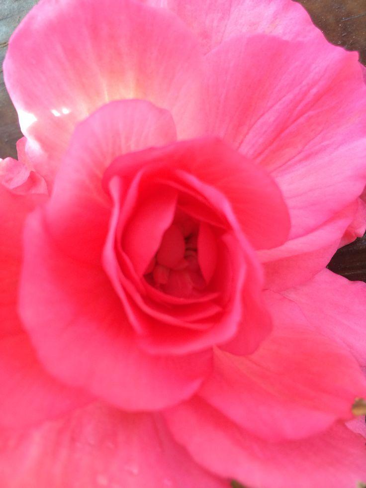 Begonia ^^