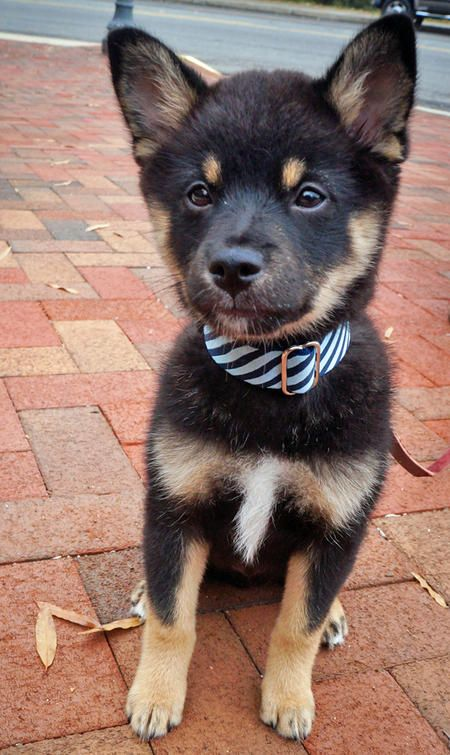 Nugget the Shiba Inu Mix puppy