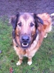 Henrik is an adoptable Leonberger Dog in West Vancouver, BC. Henrik is recovering from orthopedic surgery. He was hit by a car and broke his femur. He is a lovely dog who is great with cats and other ...