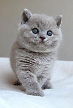 .Très beau British Shorthair bleu. J'en rêve!