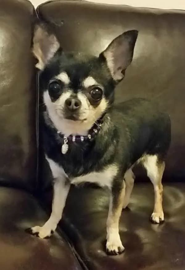 Chihuahua Of The Week Ending 5 2 15 Chihuahua Dogs Puppies
