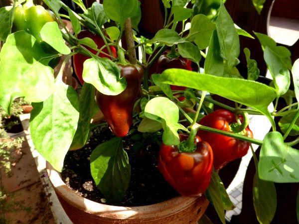 Mutige entspitzen dann noch die Paprika oder Chili wenn sie etwa 25, 30 Zentimeter hoch ist. Da wächst zwar über ein paar Wochen gar nichts mehr, aber dann verzweigen die Pflanzen sehr schön, eine kompakte Form wie hier auf dem Bild entsteht, die reicher trägt. Zudem wird die erste Blüte, die mittig oben aus der Pflanze ragt, schonungslos entfernt. Dies ist die Königsblüte, die Paprika wie Chili später kümmerlich wachsen lassen kann und den Ertrag mindert.