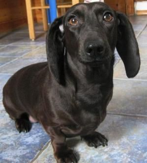 This is a rare black Dachshund. He is just so sweet to not repin! by flossie