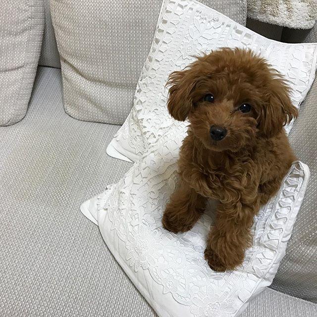 . あっれー😨 昨日の夜、必死で剥がして洗ったソファカバー… ココがまたちっちした😱 なんかスネてるね😓 . また剥がして洗う? . 今からぺぺは2度目のワクチン打ちに行ってくるね❣️ . わかるかな、ココの横にちっちシミできてるの😑 . . ぺぺランラン🐶 Part 1🎶 . #ティーカッププードル #トイプードル #トイプー #タイニープードル #ココペペ #愛犬 #ペット #小型犬 #パピー#子犬 #可愛い #dog #puppy #toypoodle #poodle #teacuppoodle #tinypoodle #pet #baby #ふわもこ部 #トイプードル部 #多頭飼い #あたちの匂いもつけとくね #いりませーん