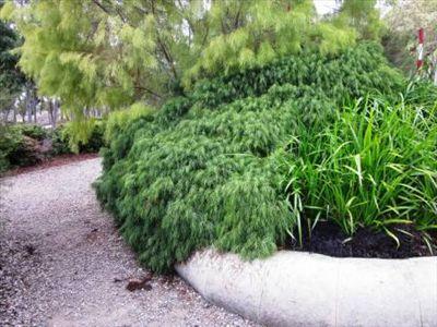 Acacia cognata 'Cousin Itt' • Australian Native Plants • Plants • 800.701.6517