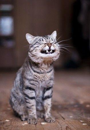 にぃー!ってする猫
