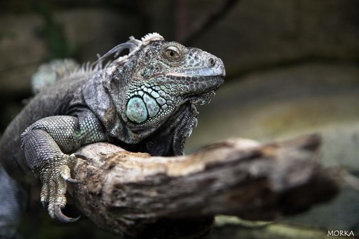 Iguane commun, Zoo de Beauval, 2012-08-16