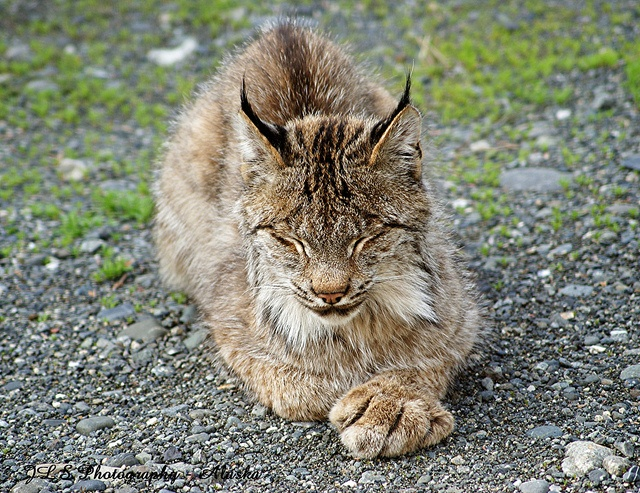 The lynx, the smallest of the cats in the wild, has a