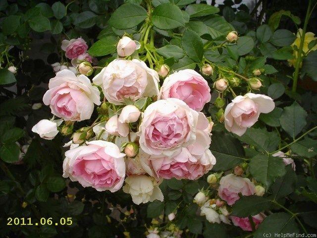 568 best images about roses on pinterest english shrubs. Black Bedroom Furniture Sets. Home Design Ideas