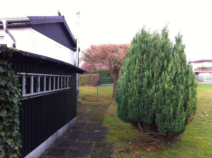 bonsai l rchen baum larch tree bonsai baumpflege. Black Bedroom Furniture Sets. Home Design Ideas