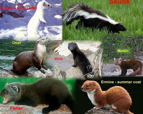 mustelidae family tree Google Search animals
