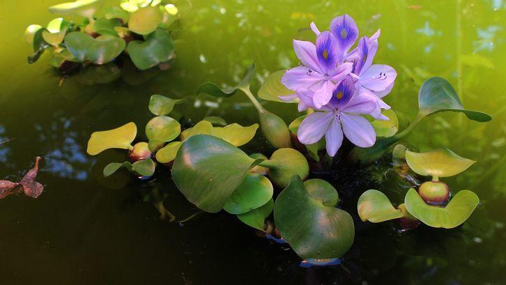 Tanaman Hias Air yang Akan Mempercantik Taman Anda.