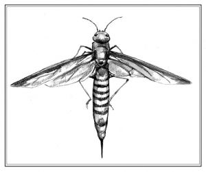 """""""The Wasp and the Fungus,"""" by Eric R. Eaton. """"No one could fault you for running away, screaming in terror, if you saw a large, flying, cigar-shaped insect armed with a """"stinger"""" bigger than a sewing needle. Thankfully, the female pigeon horntail wood wasp is harmless…"""""""