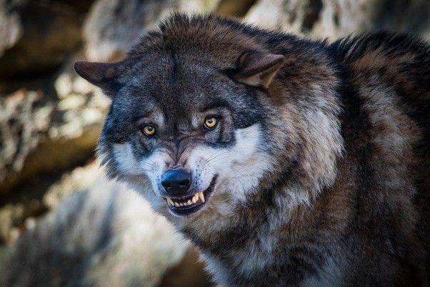 figuras animales おしゃれまとめの人気アイデア pinterest carlos humberto 狼 画像 オオカミ 動物
