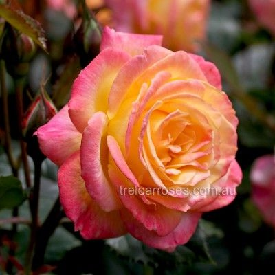Garden Delight :- This new floribunda is a real bell-ringer in the landscape with its array of colours and very healthy foliage. (treloar)