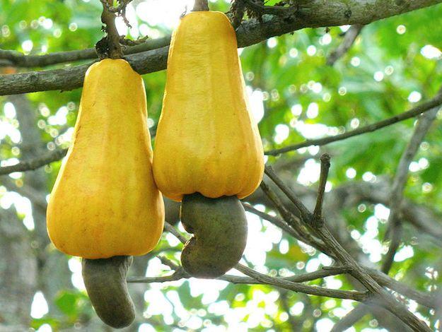Anacardi, pianta e coltivazione: informazioni sulla pianta esullacoltivazione dianacardi. Curiosità su proprietà nutrizionali eusi in cucina.