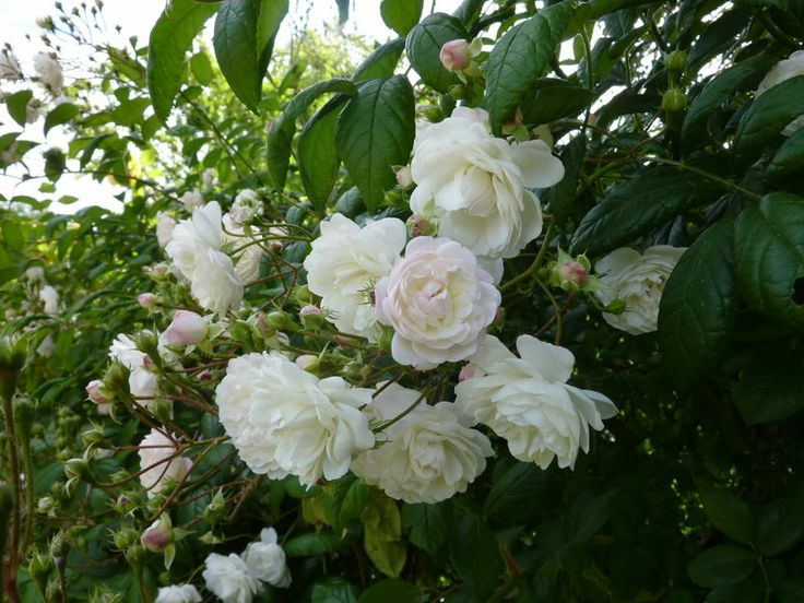 Trésor de Thorigny. Trouvé par M. BOURREAU, rosiériste qui a cessé ses activités, sur une décharge de Thorigny sur Marne, ce rosier est cultivé par M. André EVE. Il fleurit abondamment mon jardin du printemps à l'automne. C'est un vigoureux grimpant qu'on peut conduire en buisson.