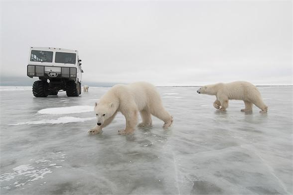 """Join Daniel J Cox and Dr. Ian Stirling LIVE from Tundra Buggy One in Churchill, Manitoba, """"Polar Bear Capital of the World"""". You watch from inside. Wild polar bears watch from outside. And pre- and post-conference lessons round out the tundra experience. These exclusive webcasts allow you to meet and talk with world-renowned scientists and educators—as arctic winds shake the buggies and polar bears prowl outside. Visit  Polar Bears International to learn more: www.polarbearsinternational.org"""