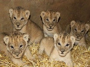 11 Asiatic cubs born in Gir National Park!