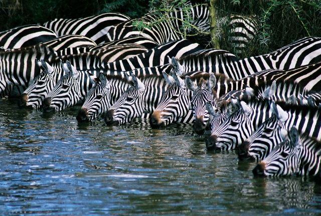 Fantastic photo of Zebras at watering hole in the Serengeti. (Photographer danadatk)