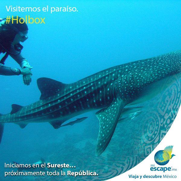¿Imaginas nadar junto a un tiburón ballena? Anímate a vivir esta experiencia inolvidable. #Mar #Isla #Holbox #QuintanaRoo #México #Viajes #Turismo