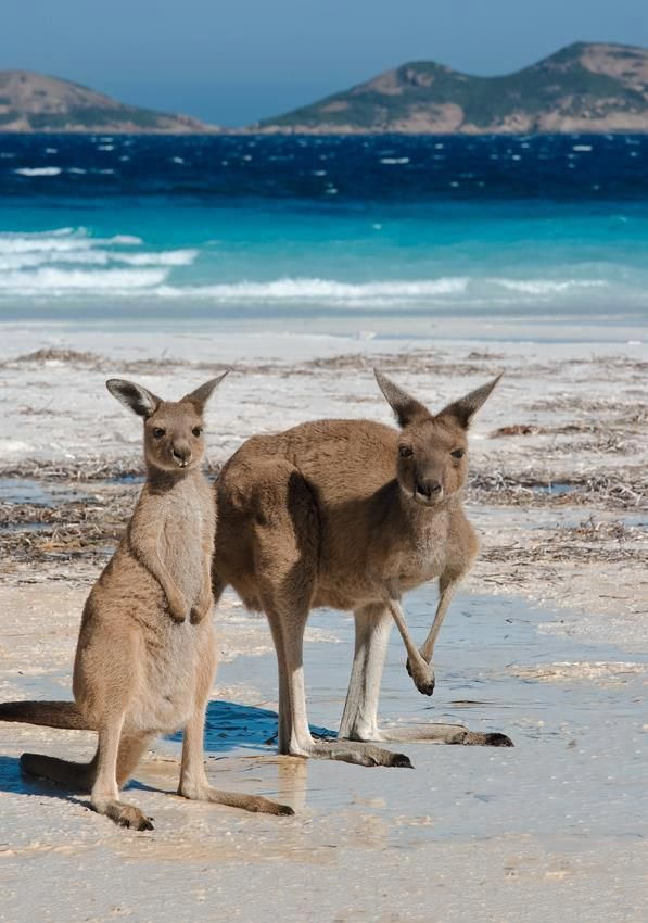 kangaroo mother & child at beach ; )