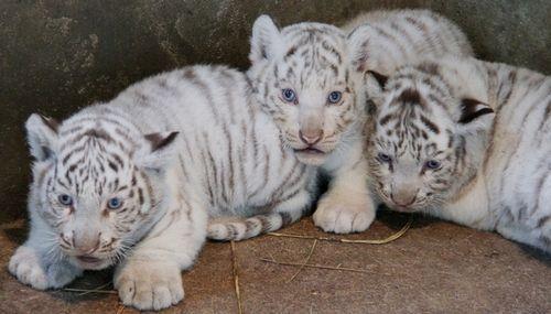ホワイトタイガーの赤ちゃんを公開-東武動物公園 : 〓 ねこメモ 〓